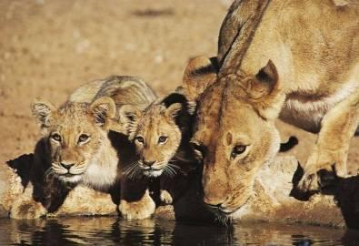Südafrika Krüger Nationalpark Löwen