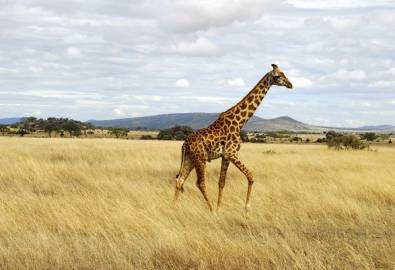 Tansania Giraffe Serengeti
