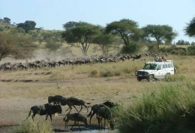 Tansania Gnuherde Jeep