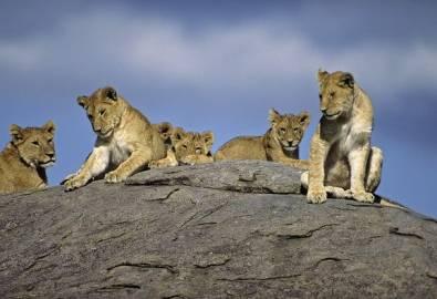 Tansania Löwen Rudel