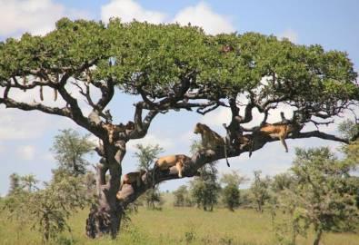 Tansania Serengeti Löwen im Baum