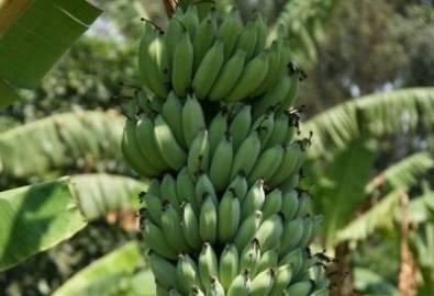 Uganda Bananenstaude