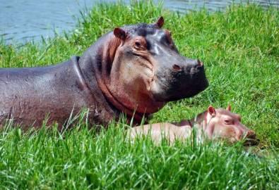 Uganda Flusspferde Mama mit Kind