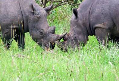 Uganda Nashörner