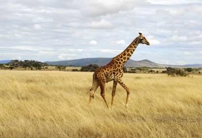 Tansania - Giraffe Serengeti