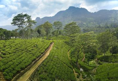 Teeplantage - Nuwara Elliya