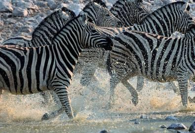 Zebras im Fluss