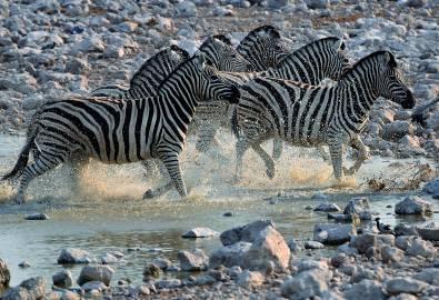 Zebras Wasser